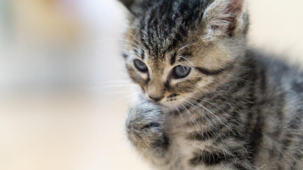 自分の手をクンクンする子猫の画像